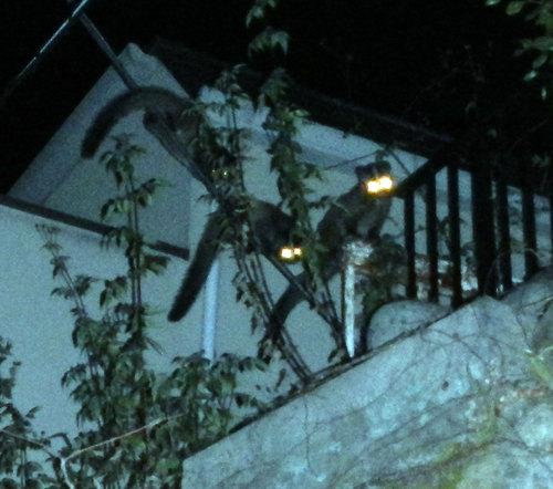 Masked Civets