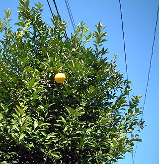 citrus-ornament.jpg