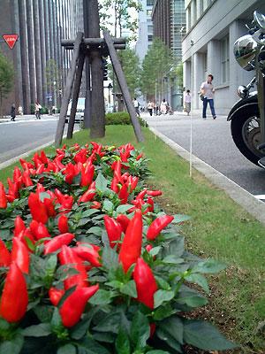pepper-planting2.jpg