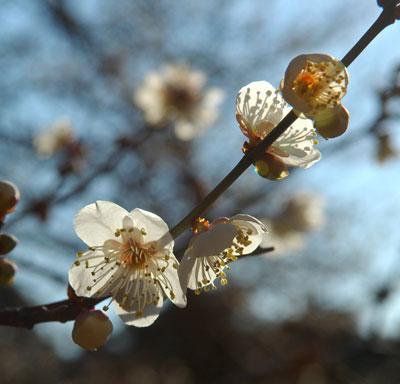 plums-3.jpg