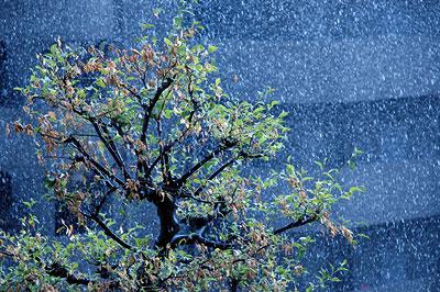 rain-tree.jpg
