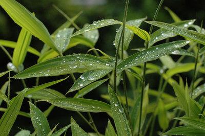 sasa-rain.jpg