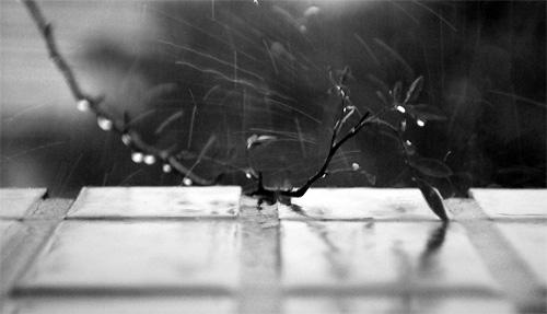 rainonrose.jpg