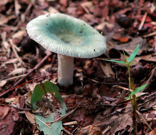 greenmushroom.jpg
